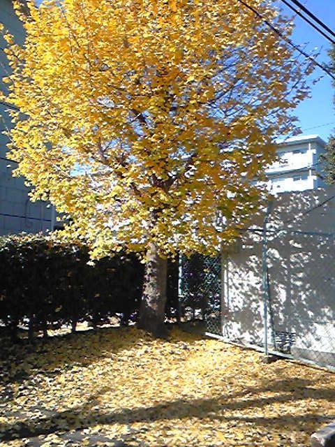 イチョウの葉は黄色